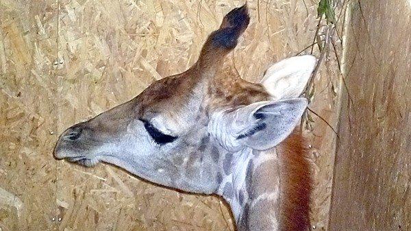 Уставший от дороги жираф, лежит в клетке и на суету людей  внимания не обращает