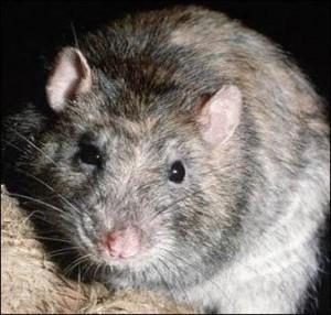 В прошлом году от укусов крыс пострадали три человека