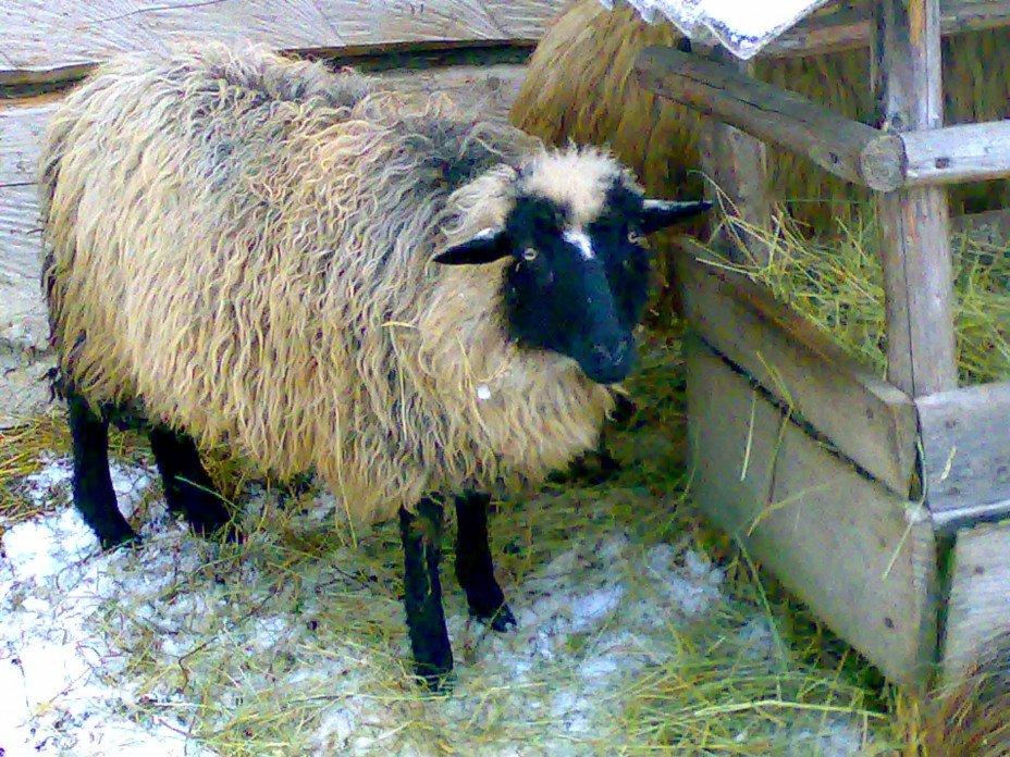 На борьбу с оспой овец Южного Казахстана выделено миллион доз вакцины
