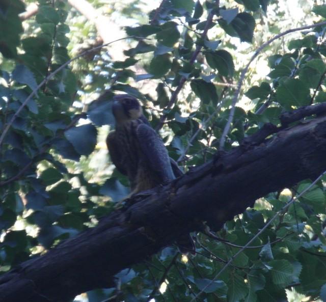Хищная птица в Шымкенте. Фото автора