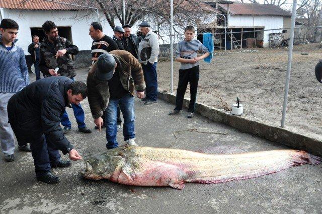 Длина сома 2 метра 80 см