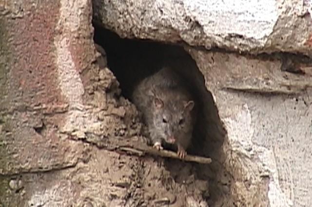 Крысы уже обосновались в центре Шымкента