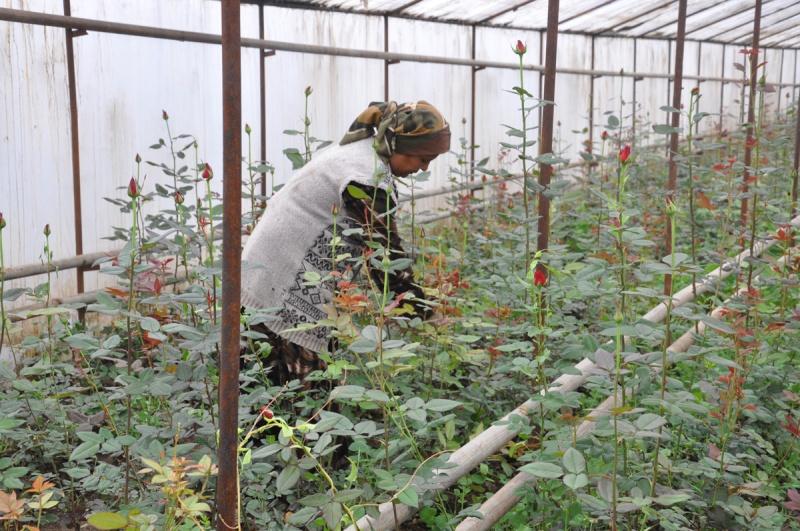 Розы технология выращивания 40