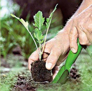 Сейчас самое время высадить в открытый грунт рассаду ранней капусты
