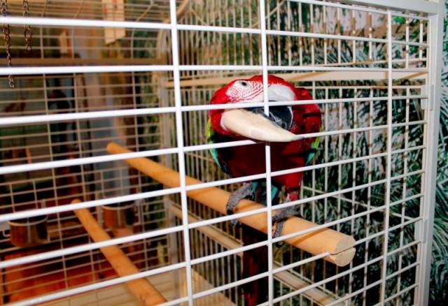 Арарауна или просто Ара. Крупные (длиной до 95 см) попугаи с очень яркой и красивой окраской зелёных, красных, голубых и жёлтых тонов.