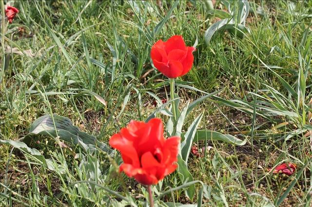 """Тюльпаны Грейга - один из самых красивых ботанических видов и вполне заслуженно носит звание """"короля"""" тюльпанов. Его крупный горделивый бокал цветка своей формой, как утверждают специалисты, напоминает старинный головной убор, который когда-то носили голландские женщины."""