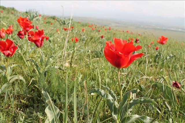Еще в 30-х годах  ХХ -го века вокруг Ташкента луковицы тюльпанов Грейга собирали на экспорт, для цветоводов Голландии.