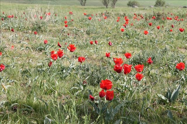 В узбекской и казахской народной медицине, как утверждают историки тюльпану Грейга тоже нашлось применение. Лепестки использовались при головной боли, плоды - при легочных заболеваниях.