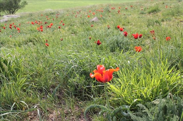 Тюльпан Грейга впервые встречен в горах Каратау Э.Л. Регелем и первоначально описан в качестве разновидности алтайского тюльпана. Затем, в 1873 г. выведен в самостоятельный вид и назван в честь Самуила Алексеевича Грейга (1827-1887) — президента Российского общества садоводов.