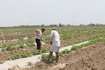 Сельское хозяйство еще одна сфера, где задействованы трудящиеся мигранты