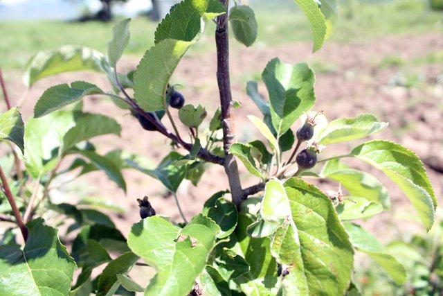 В этом году первые посадки яблонь Сиверса уже дали плоды