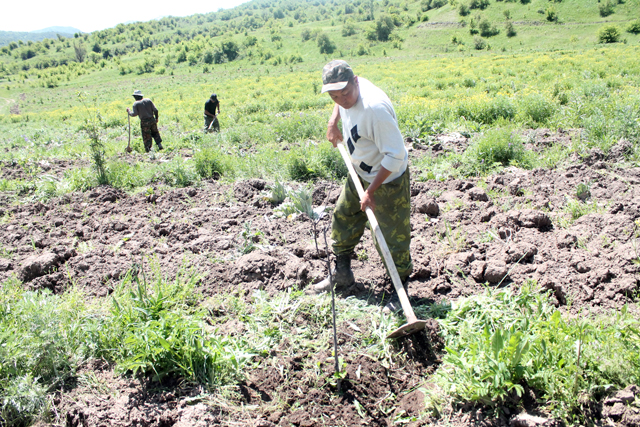 Работники лесхоза заботятся о саженцах этого уникального эндемика Казахстана