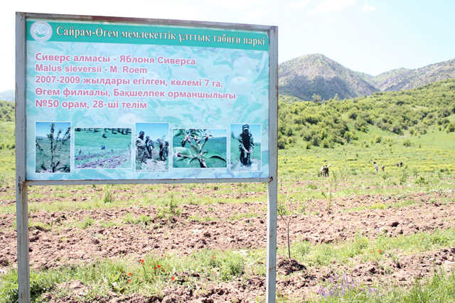 Испытательная площадка по выращиванию клонов яблони Ситверса в Угамском филиале Сайрам-Угамского государственного национального природного парка