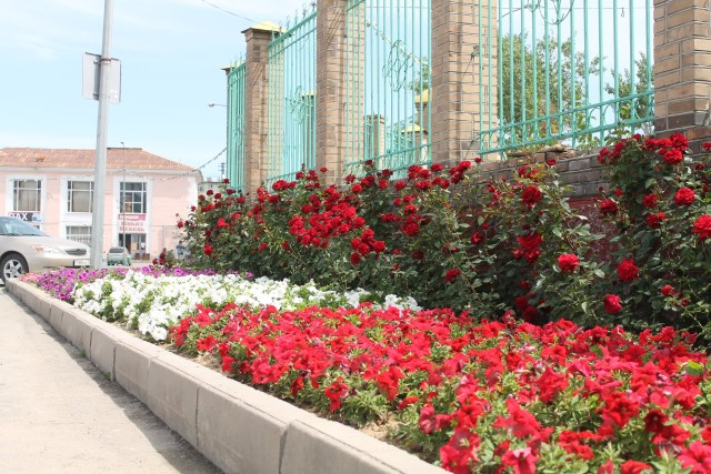В этом году на центральных улицах Шымкента высадили  16 000 роз
