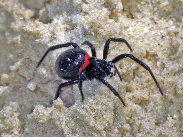 """Каракурт или """"черная вдова"""" - один из опаснейших видов пауков"""