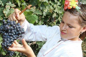 Виноград, пожалуй, единственное растение, которое так до конца человеку и не подчинилось, несмотря на многотысячную историю его культивирования
