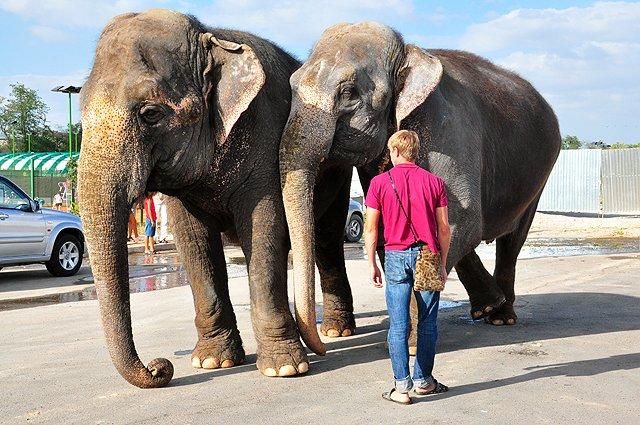 Слоны разгуливали по центральным улицам Шымкента
