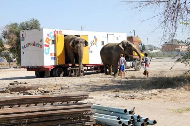 В этом грузовике слоны живут во время гастролей. На нем и приехали купаться