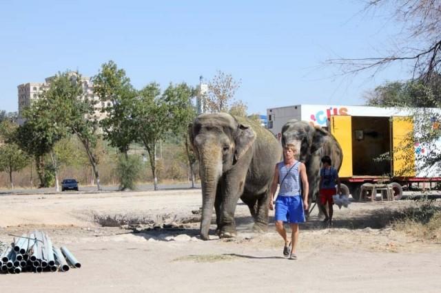 Это дрессировщик слонов Сергей Гулевич. Ускорив шаг, слоны направились за ним на пляж