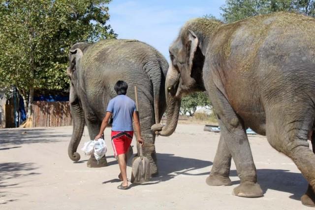 Со слонами дрессировщики разговаривают на польском языке, но говорят, что немного слоны понимают и на русском