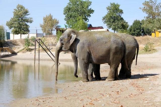На берегу слоны даже растерялись. Так и стояли у воды, пока компанию им не составил дрессировщик