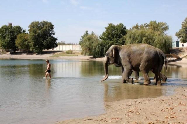 Температуру воды Сергей мужественно испробовал сначала на себе. И только когда слоны поняли, что это безопасно, они шагнули в воду
