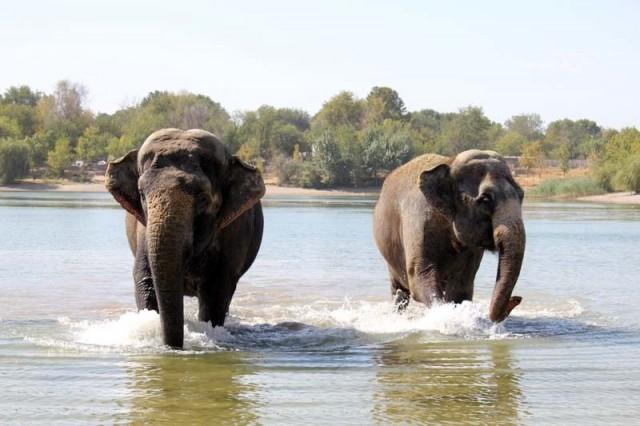 Увидев, что дрессировщик технично вышел из воды, слонихи рванули за ним. При этом с берега в разные стороны начали разбегаться люди, которые пришли посмотреть на купающихся слонов