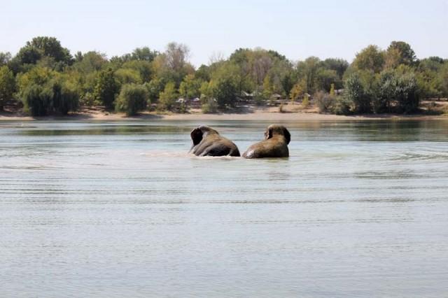 Спустя минут 40 слоны расслабились, позволили выйти дрессировщику из прохладной воды и начали плескаться