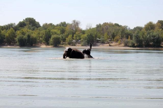 За весь летний сезон циркачки купаются в водоеме только второй раз. До этого им удалось поплавать в реке после гастролей в Астане. Правда, в цирке им каждый день устраивают водные процедуры - их поливают из шланга