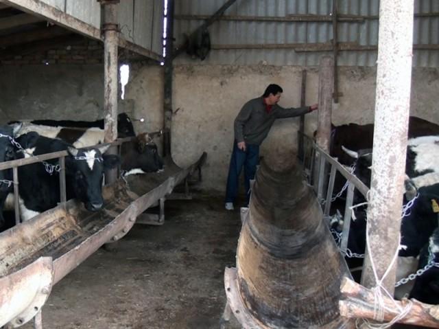 Как выращивать теленка в домашних условиях 822