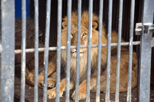 царь зверей лев