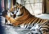 Самца амурского тигра сотрудники шымкентского зоопарка ждали долго