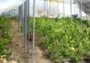 Фрукты прижились хорошо. Теперь, в его теплице произрастают более 2200 молодых деревьев