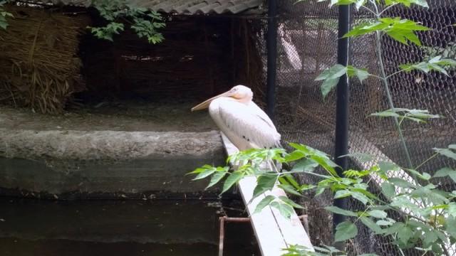 Пеликан, в отличии от павлина, к себе внимание не привлекает