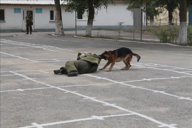 Служебная собака бросается за нарушителем - это обязательный этап соревнований кинологических служб