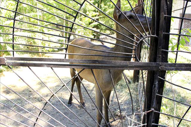 Еще один приятный сюрприз, в одном из вольеров появился новый питомец - двух годовалая самка Благородного оленя