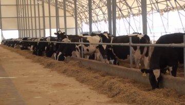 Крупный рогатый скот привезли из Канады в начале года