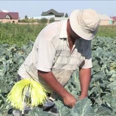 Уход за саженцами цветной капусты