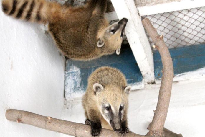 Носух посетители зоопарка не видели уже лет 10