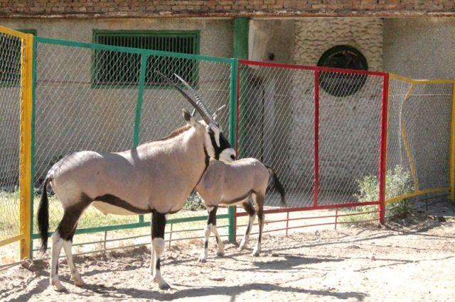 Молодая пара антилоп Орикс - гордость шымкентского зоопарка