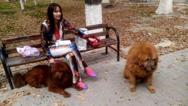 Для пары тибетских мастифов Буси и Мухи, участие в конкурсах красоты привычное дело