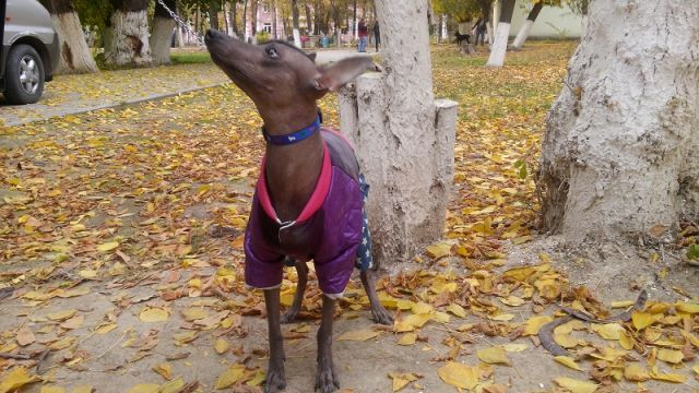 На выставке были представлены и очень редкие породы собак. К примеру, эта годовалая самка мексиканской голой. В Шымкенте таких собак всего две