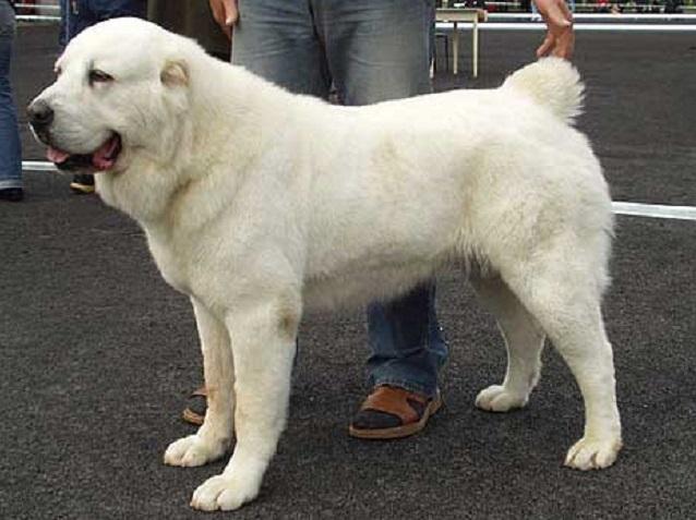 Лучшей среди всех собак стала среднеазиатская овчарка. Она получила титул и звания Бест