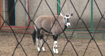 Орикс - антилопа с напористым характером