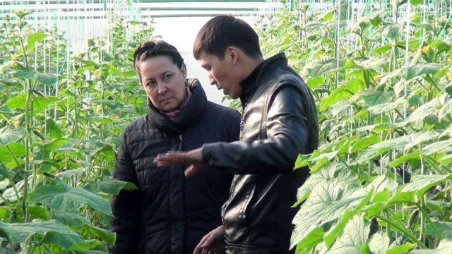Тепличные хозяйства развиваются в ЮКО