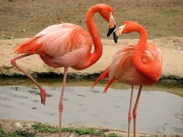Розовый фламинго когда-то был в Шымкентском зоопарке