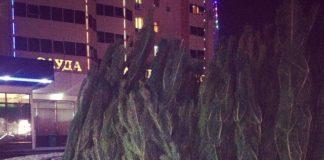 Живые новогодние ели