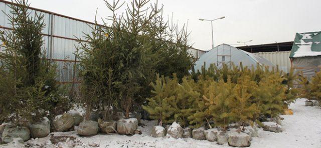 В Казахстане не запрещена торговля составных елок из ветвей и живых елок, растущих в контейнерах местного производства