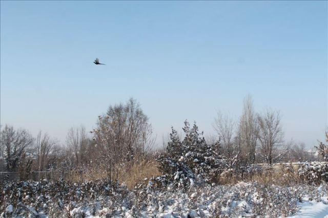"""""""Поймать"""" фазана в объектив фотоаппарата - большая удача"""