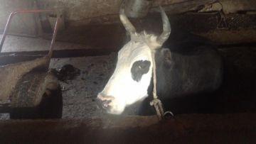 В Отырарском районе ЮКО задержана группа скотокрадов